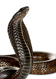 Close-up of Egyptian cobra, Naja haje, against white background, studio shot