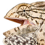 Close-up profile of Chameleon, against white background, studio shot