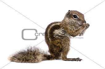 Babary Ground Squirrel, Atlantoxerus Getulus, standing , studio