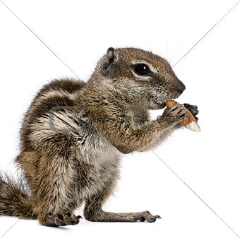 Barbary Ground Squirrel eating nut, Atlantoxerus getulus, against white background, studio shot