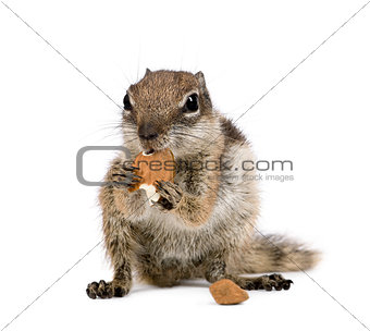 Barbary Ground Squirrel eating nuts, Atlantoxerus getulus, against white background, studio shot