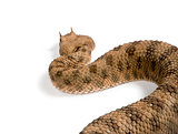 Rear view of Saharan horned viper, Cerastes cerastes, against white background, studio shot