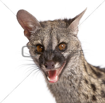 Portrait of Common Genet, Genetta genetta, against white background, studio shot