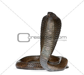 Portrait of Egyptian cobra, Naja haje, against white background, studio shot