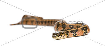 Green Whip Snake, Hierophis viridiflavus, against white background, studio shot