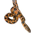 Green Whip Snake, Hierophis viridiflavus, studio shot