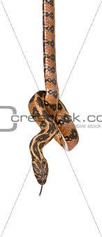 Green Whip Snake, Hierophis viridiflavus, against white background, studio shot