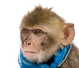 Young Barbary Macaque, Macaca Sylvanus, 1 year old, studio shot