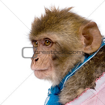 Side view of young Barbary Macaque, Macaca Sylvanus, 1 year old,
