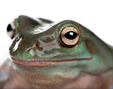 Close-up of Australian Green Tree Frog, Litoria caerulea, studio
