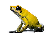 Side view of Golden Poison Frog, Phyllobates terribilis, against white background, studio shot