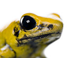 Close-up of Golden Poison Frog, Phyllobates terribilis, against white background, studio shot