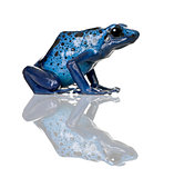 Side view of Blue Poison Dart frog, Dendrobates azureus, against white background, studio shot