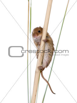 Harvest Mouse, Micromys minutus, climbing on piece of wood, studio shot