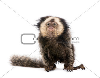 Young White-headed Marmoset, Callithrix geoffroyi, 5 months old, in front of white background, studio shot