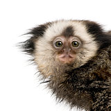 Portrait of young White-headed Marmoset, Callithrix geoffroyi, 5