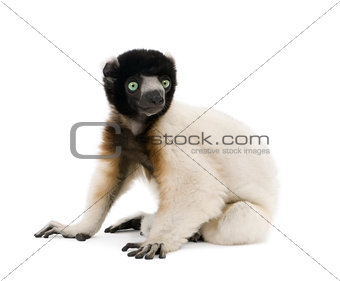 Side view of Young Crowned Sifaka, Propithecus Coronatus, 1 year old, sitting against white background, studio shot