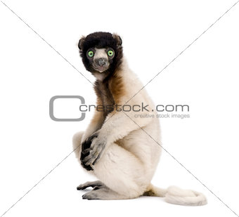 Portrait of Young Crowned Sifaka, Propithecus Coronatus, 1 year old, sitting against white background, studio shot
