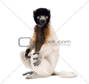 Young Crowned Sifaka, Propithecus Coronatus, 1 year old, sitting