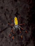 Golden orb-web spider, Nephila inaurata madagascariensis, against black background, studio shot