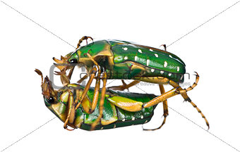 East Africa flower beetles fighting, Stephanorrhina guttata, in front of white background, studio shot