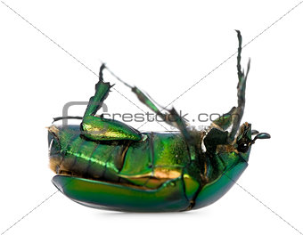 Green flower beetle on backside, Cetonischema aeruginosa, against white background, studio shot