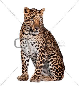 Portrait of leopard, Panthera pardus, sitting, studio shot