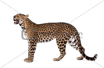 Portrait of leopard, Panthera pardus, standing, studio shot