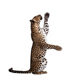 Leopard, Panthera pardus, reaching up against white background, studio shot