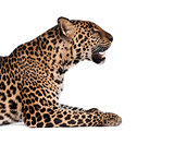Portrait of leopard, Panthera pardus, sitting against white background, studio shot