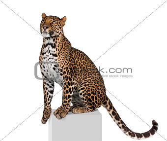 Portrait of leopard, Panthera pardus, on pedestal against white background, studio shot