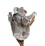 Koala bears climbing tree, 4 years old and 9 months old, Phascolarctos cinereus, in front of white background