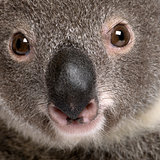 Close-up portrait of male Koala bear, Phascolarctos cinereus, 3
