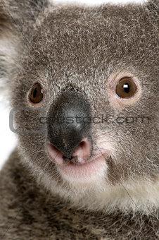 Close-up portrait of male Koala bear, Phascolarctos cinereus, 3