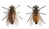 High angle view of two pale giant horse flies, Tabanus bovinus, against white background, studio shot