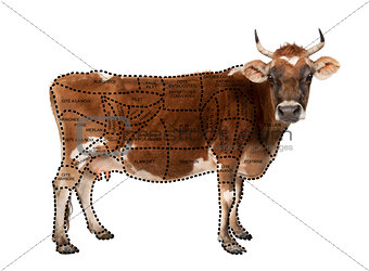 Portrait of brown Jersey cow, 10 years old, standing, studio sho