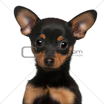 Chihuahua puppy, 2 months old, in front of white background