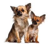 Chihuahuas, 8 months old, in front of white background