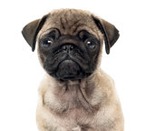 Close up of a Pug puppy, 2 months old, isolated on white