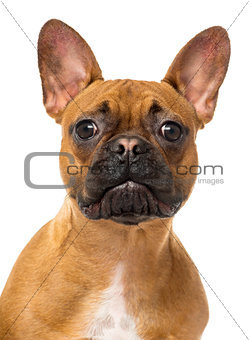 Close up of a French Bulldog looking at the camera, isolated on