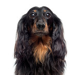 Close-up of a Dachshund, isolated on white