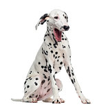Dalmatian yawning, sitting, isolated on white