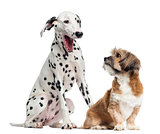 Dalmatian and Lhassa apso sitting, isolated on white