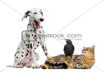 Cat and Jackdaw looking at a Dalmatian yawning, isolated on whit