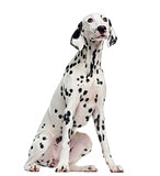 Dalmatian sitting, isolated on white