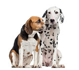 Beagle and Dalmatian sitting, isolated on white