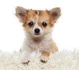 Close up of a Chihuahua puppy looking at the camera, isolated on