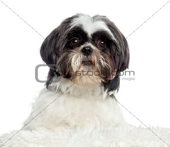 Close up of a Shih Tzu, isolated on white