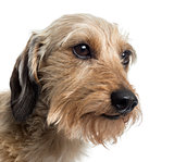 Close up of a Dachshund, isolated on white