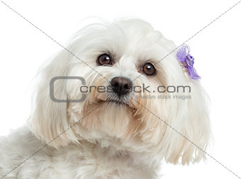 Close up of a Maltese, isolated on white